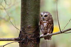 Saw Whet Owl Royalty Free Stock Photos