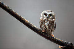 Saw-Whet Owl Royalty Free Stock Image