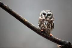 Saw-Whet Owl royalty free stock image