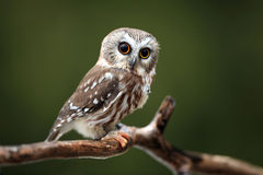Saw Whet Owl Stock Image