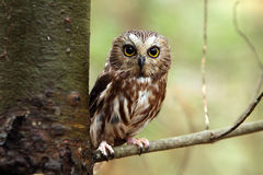 Saw-Whet Owl royalty free stock photography