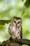 Saw Whet Owl. That is injured and being rehabilitated Stock Images