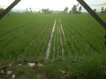 Ферма, рис, Sawah, Ampera, Индонезия стоковая фотография rf