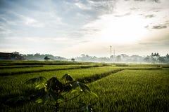 Sawah Indonésia Fotografia de Stock