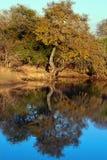 Sawann drzew Odbicie jezioro Obrazy Royalty Free