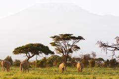 Sawanna Amboseli Kenja, Kilimanjaro góra Obrazy Stock
