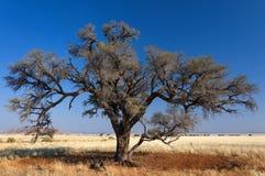 Sawanna i drzewa w Namibia, Afryka Obrazy Royalty Free
