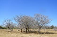 Sawanna i susi drzewa przy Kruger parkiem narodowym, Południowa Afryka Zdjęcia Stock