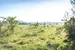 Sawanna krajobraz z niektóre zebr pasać Fotografia Stock