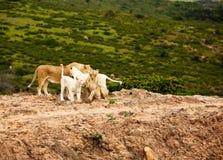 sawannowy lwa biel obrazy royalty free
