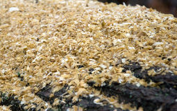 Sawdust. On a tree stump.  Selective focus Royalty Free Stock Photo