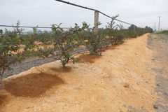 Sawdust Mulch Protecting Crops Stock Photos