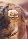 Sawed antlers of a deer. Sawed antlers on a deer`s head stock photos