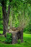 Sawed dry dead old tree trunk with hollow. And growing small thin branches on a green meadow in a spring park royalty free stock images