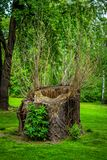 Sawed dry dead old tree trunk with hollow. And growing small thin branches on a green meadow in a spring park royalty free stock photography