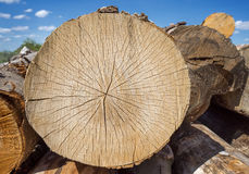 Sawed off tree trunk. With cracked texture on a woodpile outdoors in front of blue sky Stock Photo