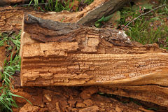 Sawed rotten tree trunk Royalty Free Stock Photo