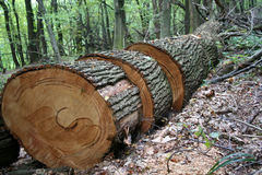 Sawed tree. Down in forest stock photography