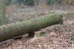 Sawed tree trunk oak wood Stock Photo