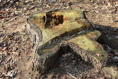 Sawed tree trunk wood. Sawed tree trunk in the forest  wood Stock Photography