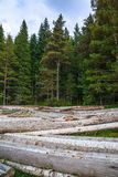 Big pile of massive tree trunks next to forest during autumn royalty free stock photography