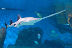 Sawfish Royaltyfri Foto