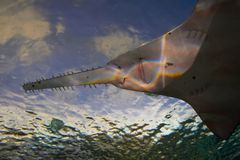sawfish Obrazy Stock
