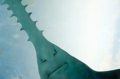 Sawfish in Aquarium. Saw of Sawfish in Aquarium stock photo