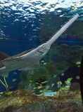 Sawfish in Aquarium. Unique fish, sawfish, in the Aquarium in Myrtle Beach, SC royalty free stock image