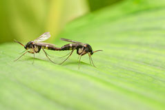 Sawflies mating Stock Photo