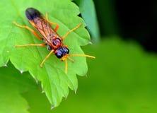sawfly Arkivbilder