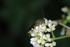 Sawfly as a pollinator Royalty Free Stock Images