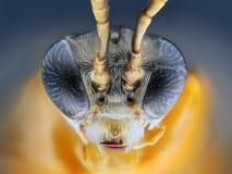 sawfly (Athalia rosae)   Fotografering för Bildbyråer