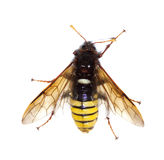 Sawfly (Climbex) Royalty Free Stock Photography