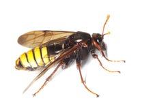 Sawfly (Climbex) Stock Photography