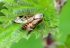 Sawfly Stock Images