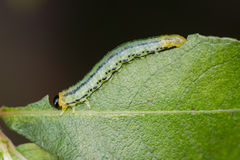 Sawfly Larva. A Sawfly caterpillar eating a juicy green leaf Stock Photo