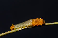 Sawfly larvae in nature Stock Photos