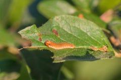 Sawfly larwa na Zjedzonym liściu Zdjęcia Stock