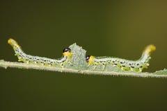 Sawfly larwy Fotografia Stock
