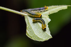 Sawfly larwy w naturze Fotografia Stock