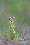 Sawfly Orchid in grassland Royalty Free Stock Images