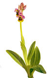 Sawfly Orchid - Ophrys tenthredinifera Royalty Free Stock Photography
