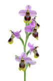 Sawfly orchid - Ophrys tenthredinifera Royalty Free Stock Photo