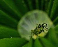 Sawfly Rhogogaster Stock Image