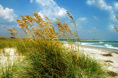 Sawgrass at the beach. Saw grass along the coastline at Daytona Beach. Blue skies with white puffy clouds in background Royalty Free Stock Image