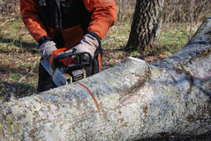 Sawing a big tree trunk Royalty Free Stock Images