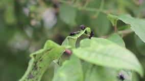 Sawing preto da árvore de ameixa em uma folha verde de uma árvore O parasita do inseto come as folhas da árvore de ameixa vídeos de arquivo