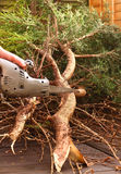 Sawing tree A Royalty Free Stock Image