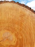 Sawn Log Texture; Red Oak. Sawn end of felled red oak tree (Quercus rubra) showing growth rings, center, and bark Stock Photo